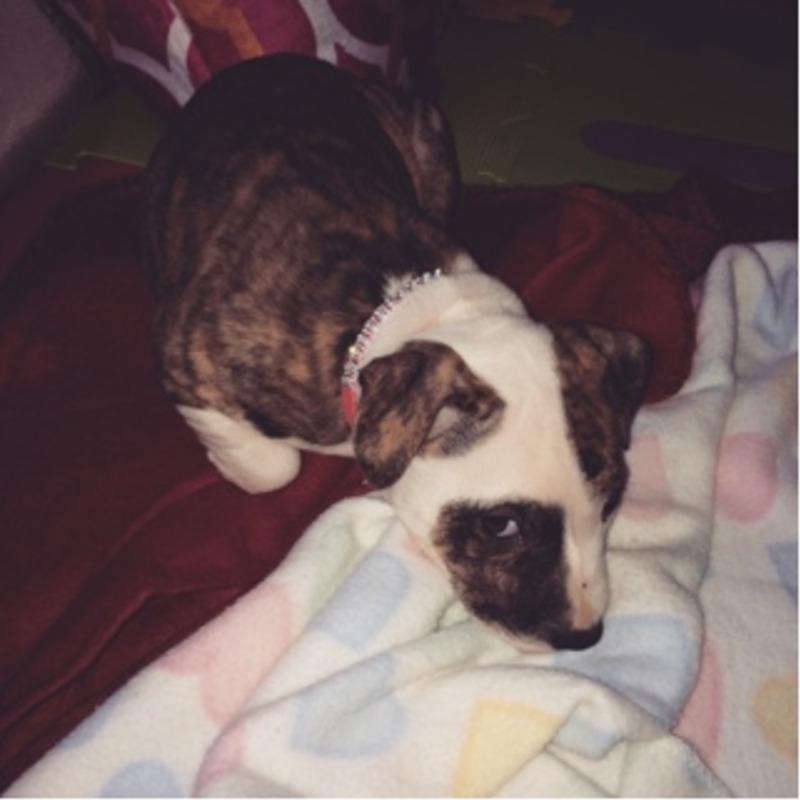 6 week old Female pitbull